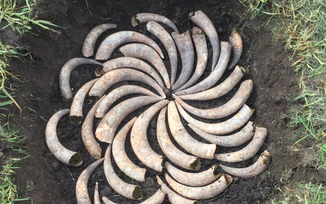 cow horn spiral