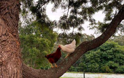 Chooks in Trees