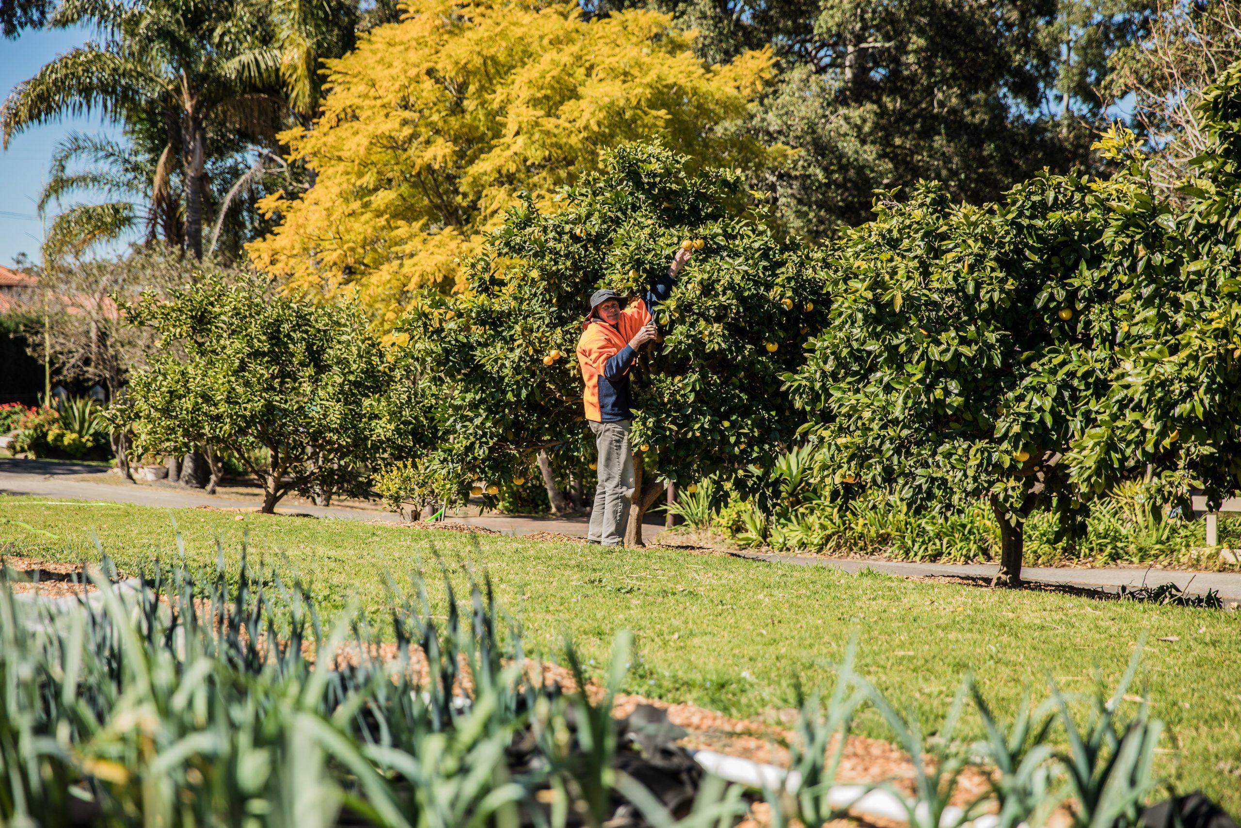 warrah citrus for pruning